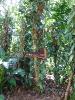 Vanilla_planifolia-Sri_Lanka_(1)